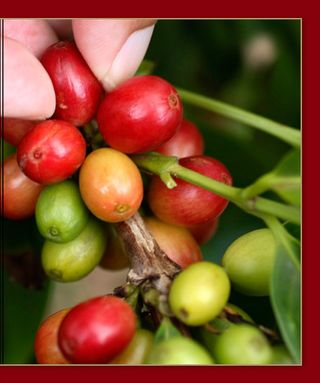 Coffee_cherry_history