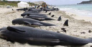 10-18 dead whales