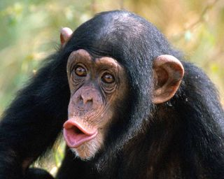 12-26hooting-chimp