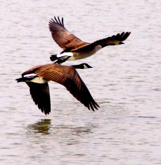 12-28 Canada Geese2