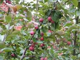 6-12 crab apples