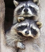 825raccoonsgreeting